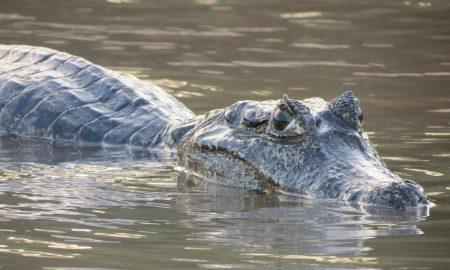 Takto to vyzerá, keď rybolov prekazí obrovský aligátor